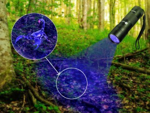 UV Flashlight Detecting Scorpian