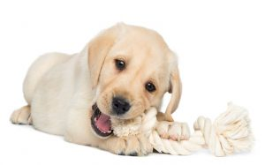 Teething Puppy Chewing On A Rope Toy